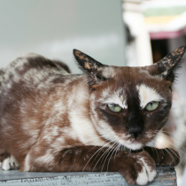 Torti Point Siamese Cat